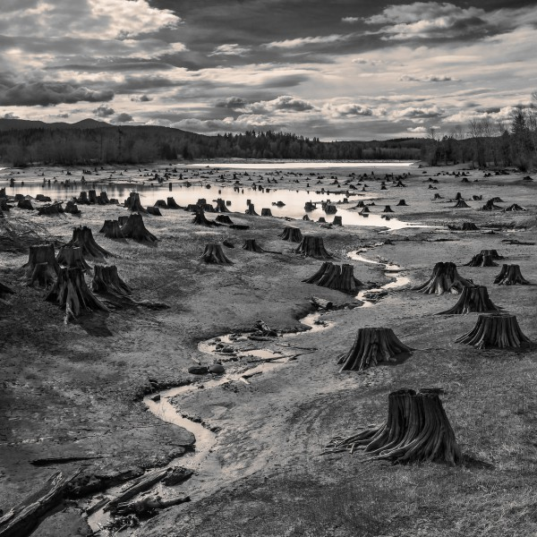 Stumps, Alder Lake, Nisqually River, Oregon